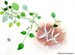 『センニン草』