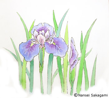 『花しょうぶ』